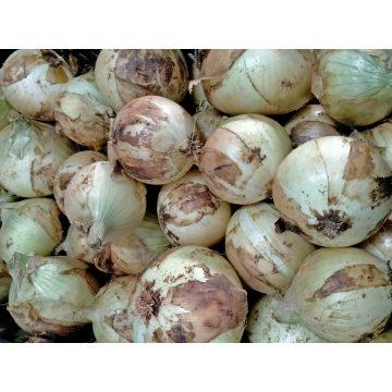 Cebolla blanca Menorca
